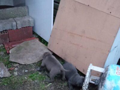 Pitbull safkan blue nose 2 adet yavru
