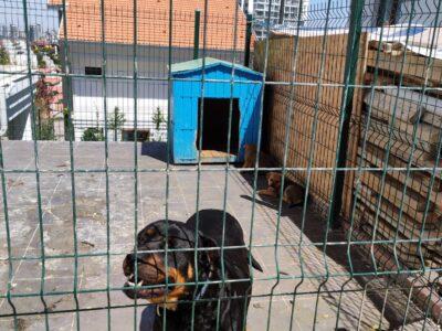 Ücretsiz kırma yavru rottweiler