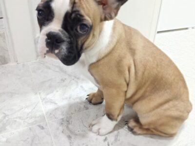 Yavru dişi french bulldog