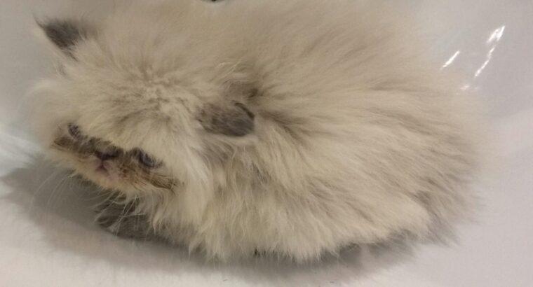 2 aylık dişi iran kedisi