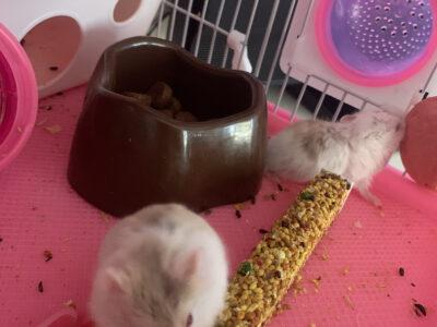 hamster yavruları anne baba