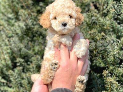 muhteşem kalitede toy poodle bebeklerimiz