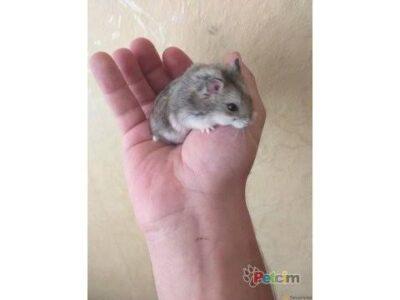 Gonzales Hamster Yavruları