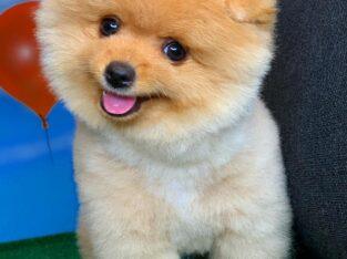 Gülen Surat Pomeranian Boo Oğlumuz ALEX