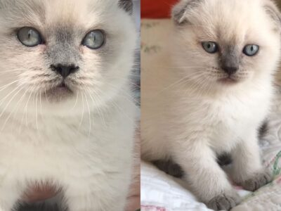 Scottish Fold ve British Shorthair Blue Point Erke