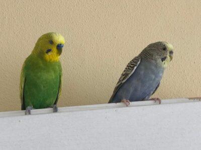 Ev üretimi her renkte ve her cins muhabbet kuşları