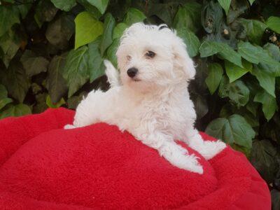 70günlük orjinal maltese terrier yavrular