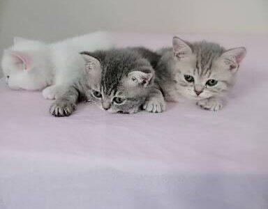 2 aylık biritish shorthair erkek dişi yavrular