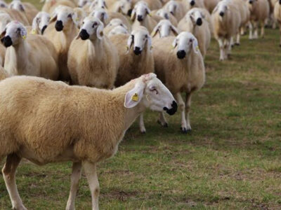 koyun diyip geçme
