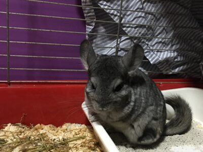 Çinçilla tavşanı