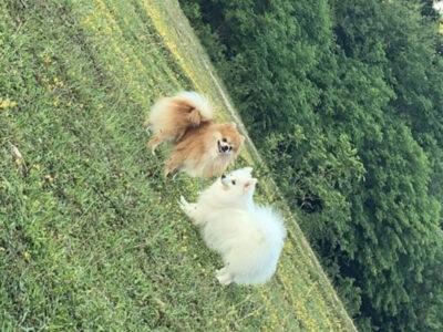 Tatlı Pomeranian Yavruları