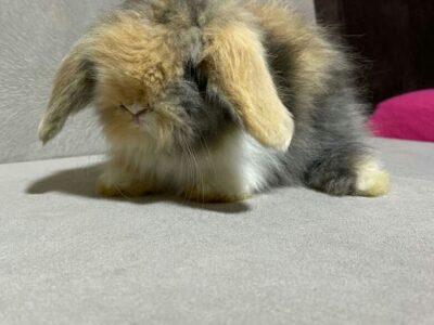 Hollanda Teddy Lop Tavşanları