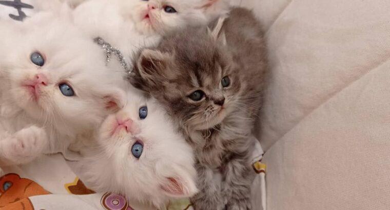Safkan İran Persian dollface sıfır burun yavrular