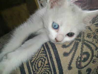 Beyaz kedi yavru 0-3 aylik
