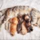 Kedinizin Hamile Olduğunu Nasıl Anlarsınız? Hamilelik Belirtileri