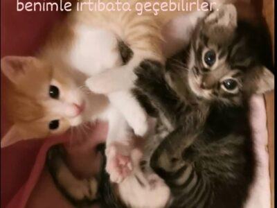 Yavru kediler 1 aylık