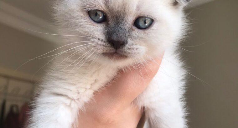 Satılık Yavru Kedi Fiyatları | KEDiPET.COM İlan Ya