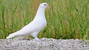 özgürlük güvercini