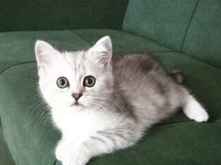 Silver ve Beyaz British Shorthair Yavrular