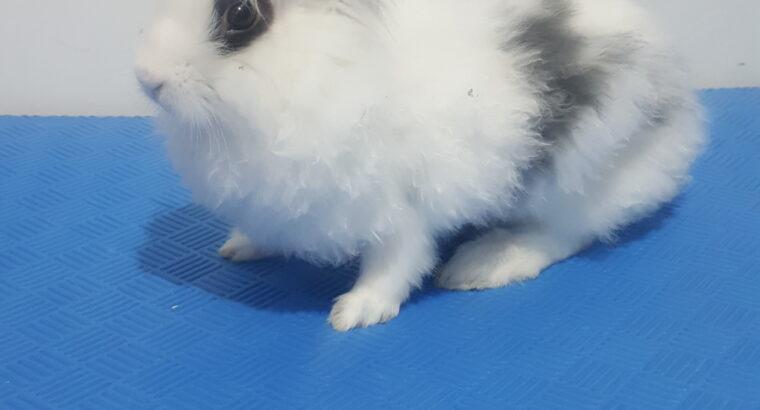 Panda tavşanı