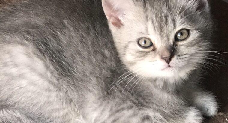 British shorthair yavrular yuva arıyor