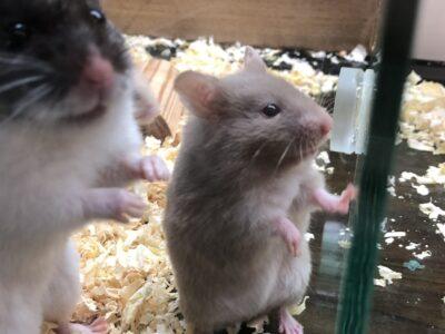 Suriye Hamsterları
