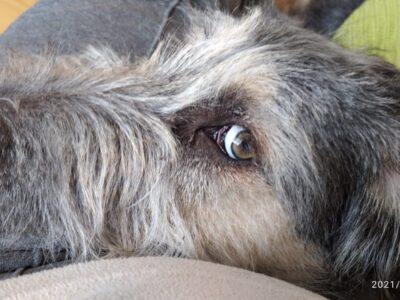 Sakallı terrier