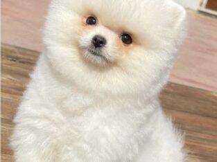 Sahibinden yavru erkek Pomeranian