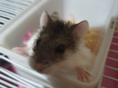 Hamster çocuğumuza yeni ailesini arıyoruz