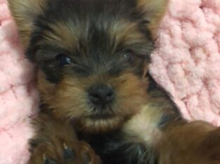 yorkshire terrier bebekler erkek dişi mevcut