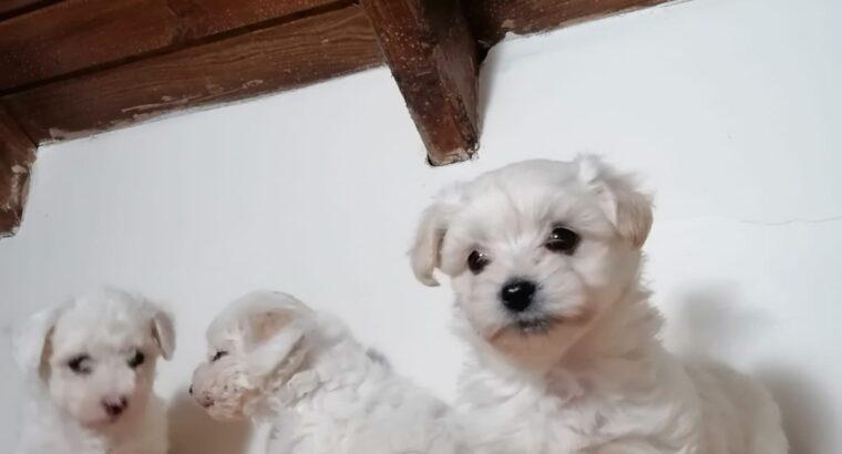 Safkan Maltese bebekler