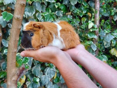 Guinea pig sahiplendirme
