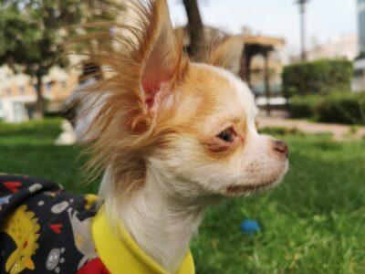 8 aylık şivava köpek