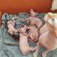 1 aylık sfenks bebekler rezerve açıktır