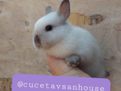Cüce tavşan netherland dwarf