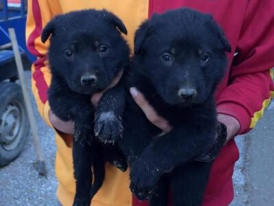 Black solid Alman kurdu yavruları
