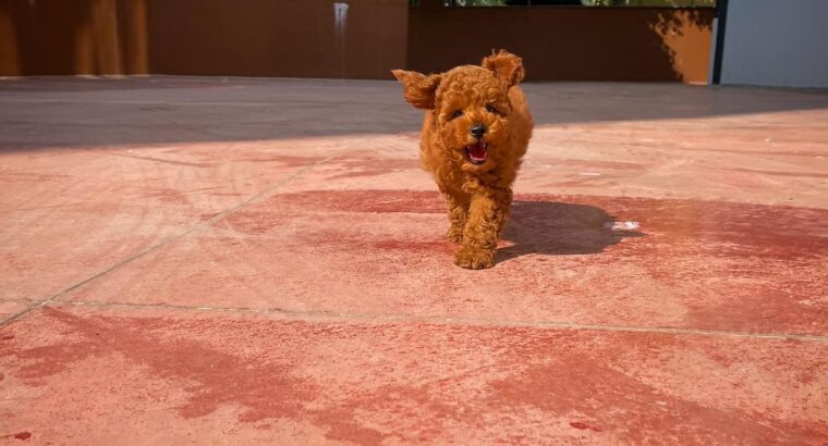 Orjinal renk Safkan Red Brown Toy poodle Kızımız M