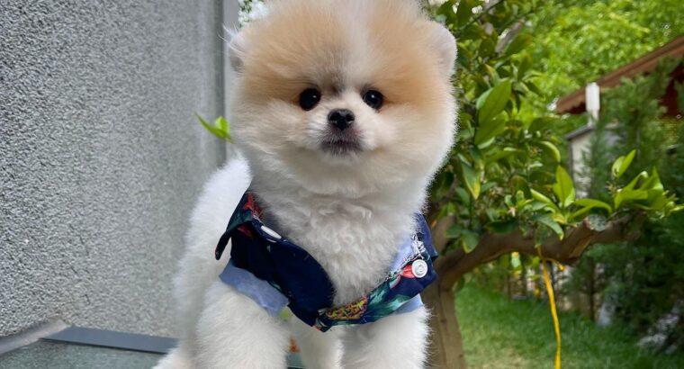 Basık surat 0,75 burun Safkan Boo Pomeranian
