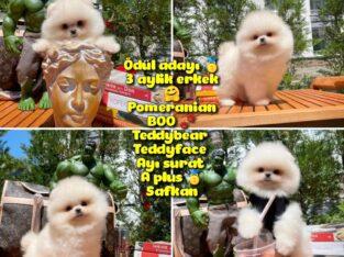 0,75 Mikro burun Ödül Adayı Safkan Boo Pomeranian