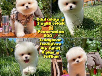 Mikro burun Yarışma Adayı Safkan Boo Pomeranian