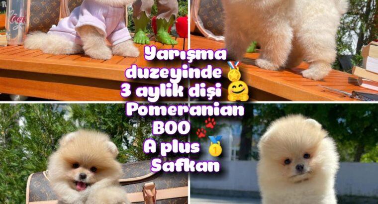 0,65 Mikro burun Ödül Adayı Safkan Boo Pomeranian