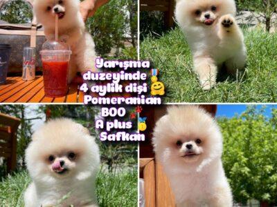 0,55 Mikro burun Ödül Adayı Safkan Boo Pomeranian