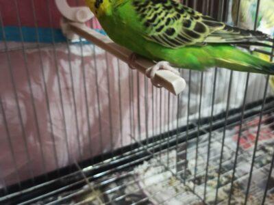 evde doğmuş oyuncu muhabbet kuşuna yuva aranıyorr