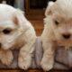 maltese terrier yavruları safkan ırk garantili