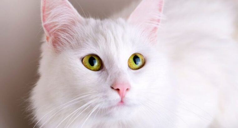 Kedi Maması Seçiminde Uzmanlar Neleri Öneriyor?