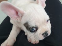 2,5 Aylık French Bulldog