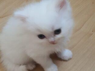 İran persian kedi yavru