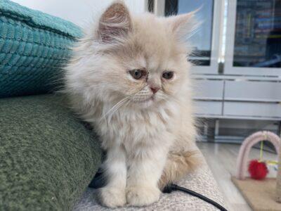 Çok yumuşak bir İran kedi yavru