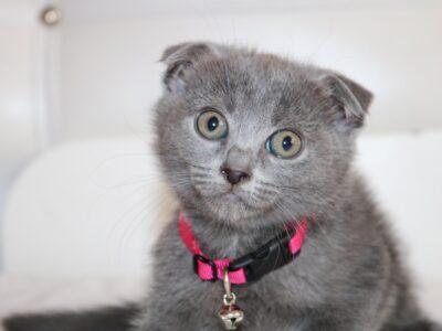 3 aylık british shorthair yavrularim