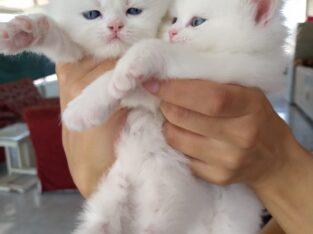 İran persian kedi yavru2t iletişim no: 05321348764